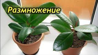 Как размножить фикус каучуконосный дома? Способы размножения фикуса.