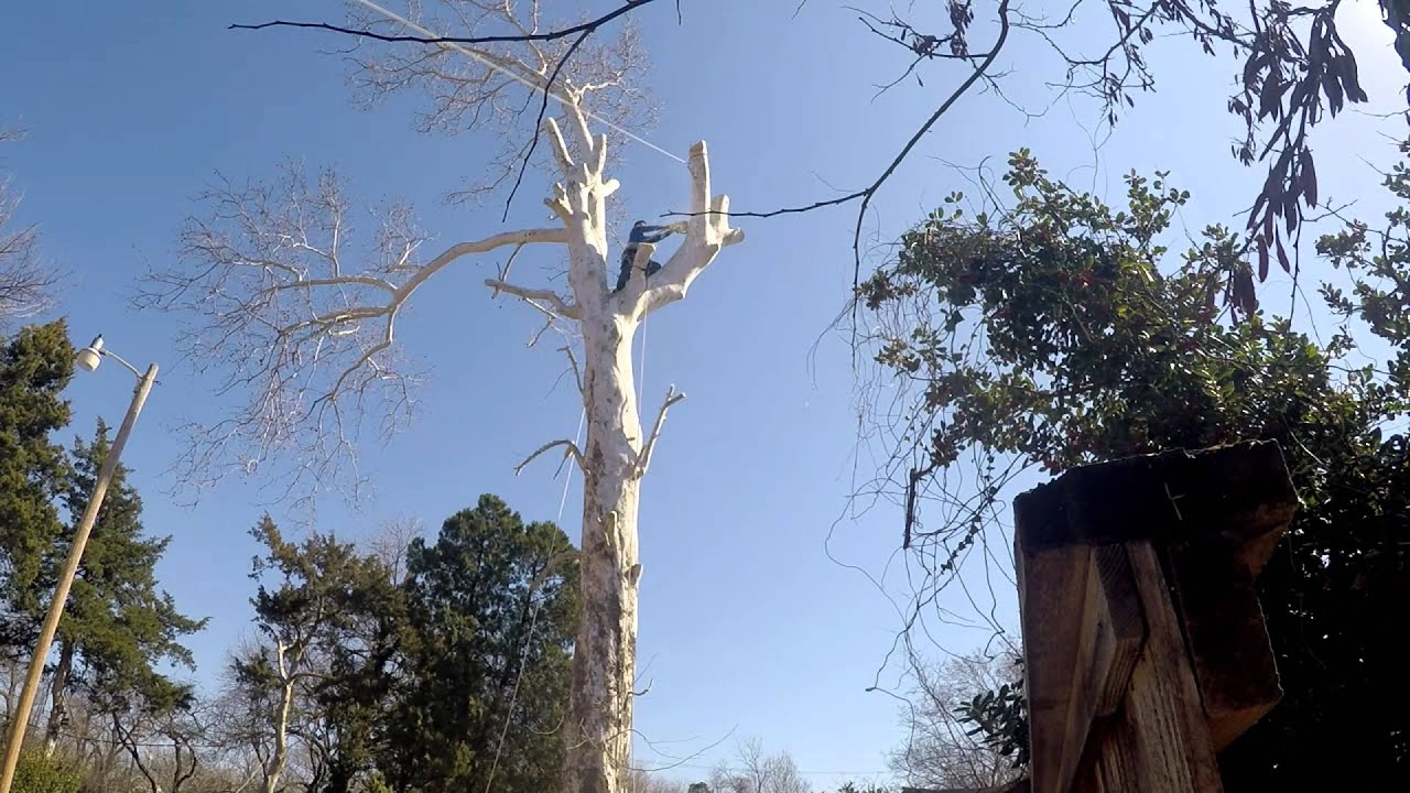 Cutting Down A Sycamore Tree
