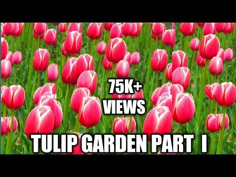 Kashmir tulip garden 31st  March 2016