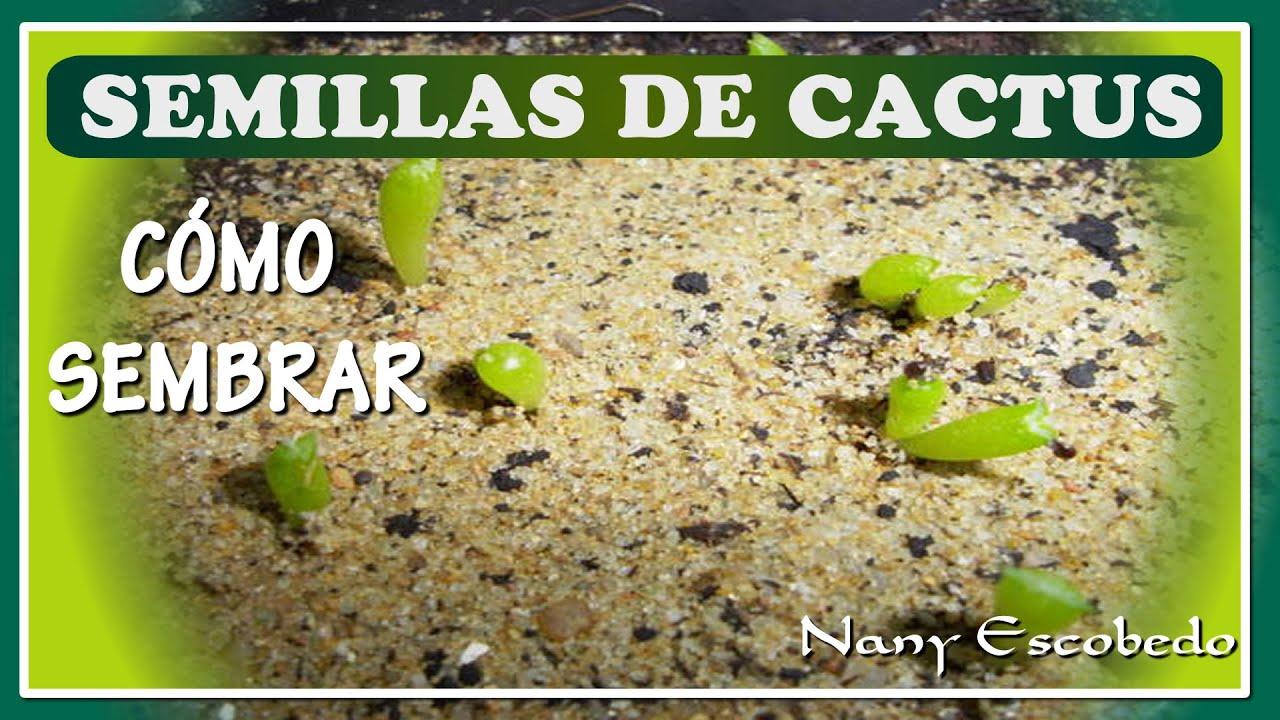 plantar cactus semillas