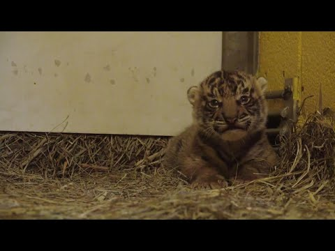 Thumbnail: It's A Boy! Maybe? Zoo Officials Try to Identify Sex of Baby Tiger