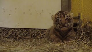 It's A Boy! Maybe? Zoo Officials Try to Identify Sex of Baby Tiger