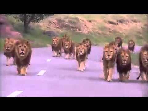 Lions on the road at sasan gir