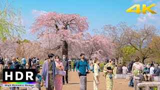 【4K HDR】Kyoto Cherry Blossoms 2021 -  Maruyama Park - Japan Sakura