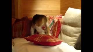 犬もふかふかしたソファーが好きな子が多いですよね! パンフェノンを頑...