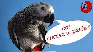 Gadajaca papuga Klara - milusiński zawadiaka
