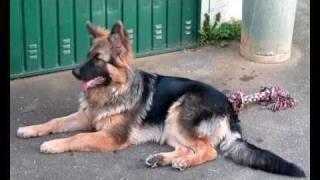 Altdeutscher Schäferhund Welpe Kira - Deutschland sucht den Superstar - Wir haben Ihn gefunden.