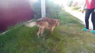В Марий Эл сбитая собака уже ходит на трех лапах