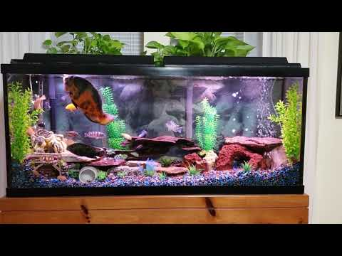 Can Oscar Fish Live With African Cichlids?