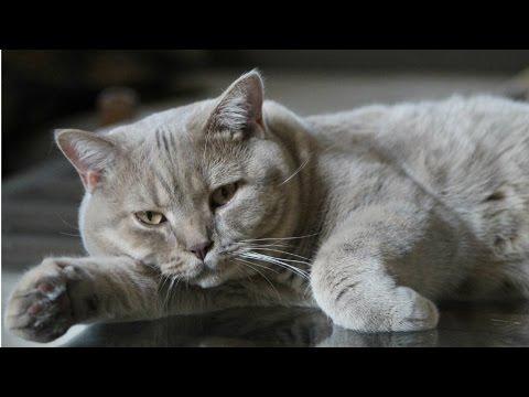Скоттиш-страйт: фото, видео, описание породы, характер. Шотландская прямоухая кошка