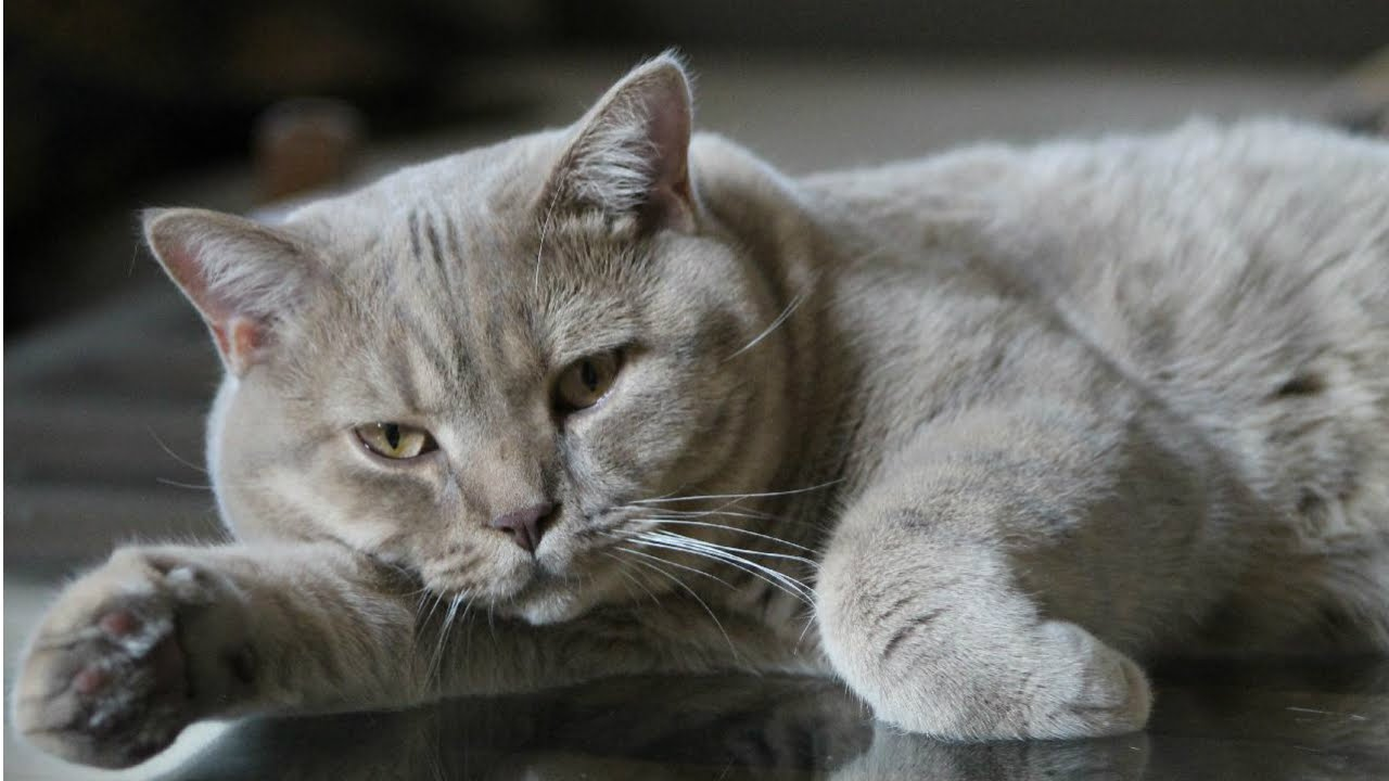 Как ухаживать за британских котов