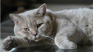 Уход за Британской Короткошерстной, Породы Кошек