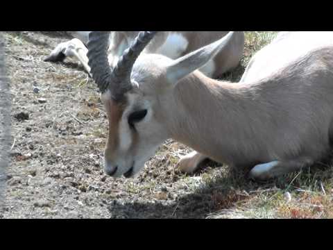 Zoo Stuttgart Wilhelma Dorcas-Gazelle gähnt