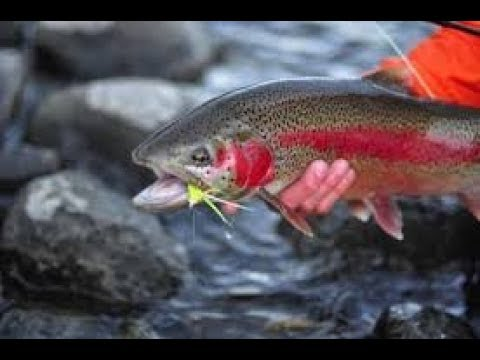 Fly fishing for BIG TROUT North Platte river (Fremont Canyon + Saratoga) Wyoming