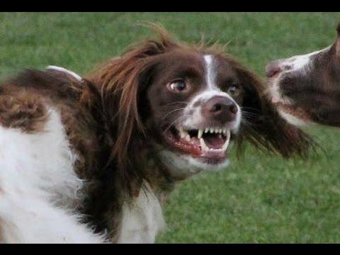Rabid Brittany Spaniel Attack!