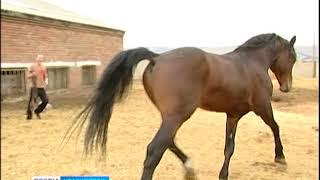 В Большеулуйском районе сняли карантин, введённый из-за опасной болезни лошадей