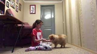 Как научить собаку команде просить( Молись)