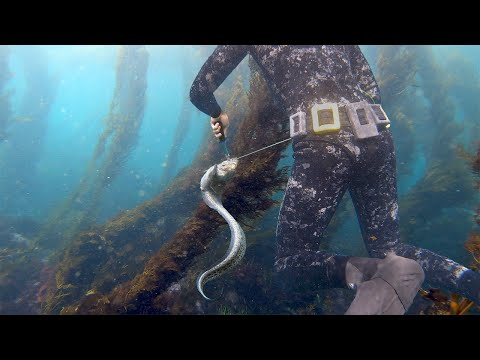 Encountering HUGE Wolf Eel While Spearfishing Kelp Forests Of Northern California | Spear To Table