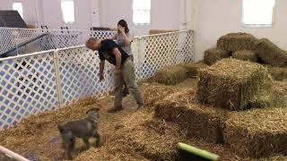 Masters Barn Hunt with Ollie the Standard Schnauzer