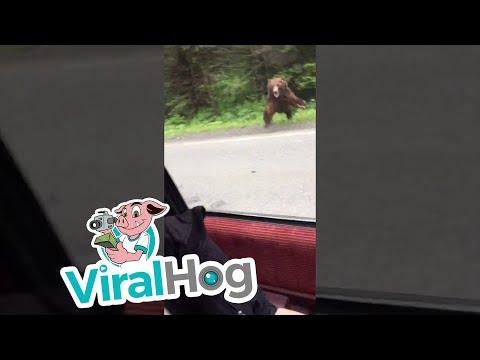 Bear Charges Car in Alaska || ViralHog