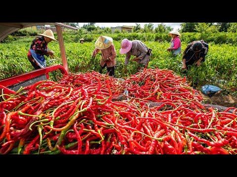 Amazing Chili Farming Technology chili Harvesting chili Cultivation chili Agriculture chili Process