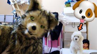 突然オオカミがやってきたら番犬はどする!?【ドッキリ】 PDS
