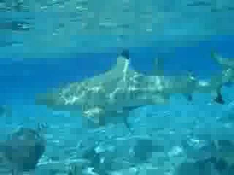 A bagno con gli squali bora bora 2008 youtube - Bagno con gli squali sudafrica ...