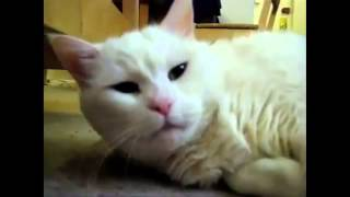 Как зевают коты)))