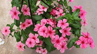 7 Curiosidades Sobre A Flor Vinca De Madagascar