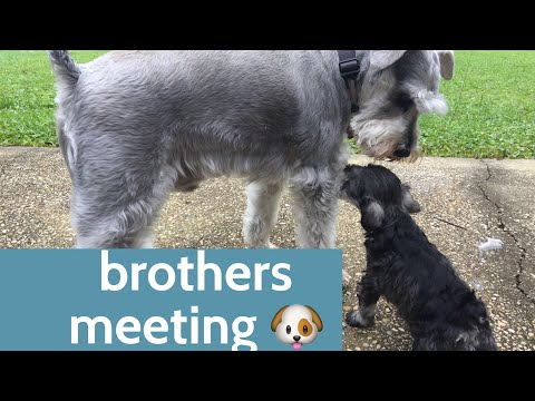 Cutest Miniature Schnauzer brothers meeting for the 1st time