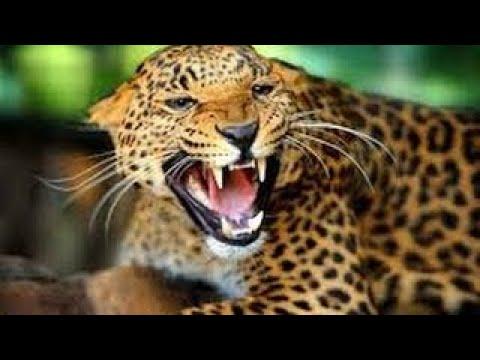 Leopard Documentary - Eye of the Leopard