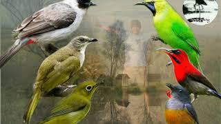 Suara burung ribut / Suara pikat burung2 kicau kecil