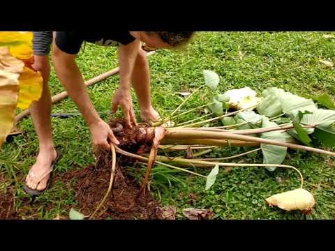 Harvesting taro - Hawaii