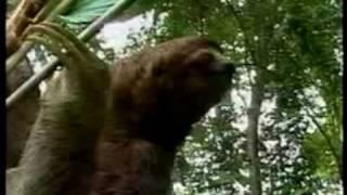 Sloth- The Discovery of the slowlyness_ Perezoso- El descubrimiento de la tranquilidad