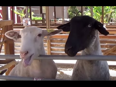 FARM ANIMALS & Their Sounds (Part 6) Educational for Children