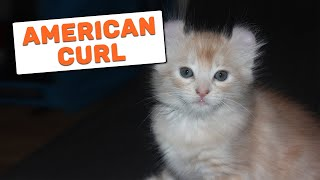 American Curl Cat  Complete Guide For Cat Owner