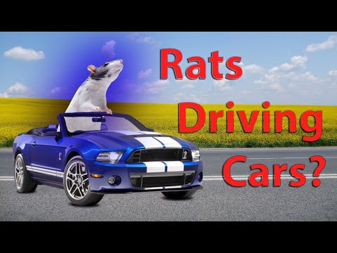 Scientists have trained Rats to Drive tiny cars