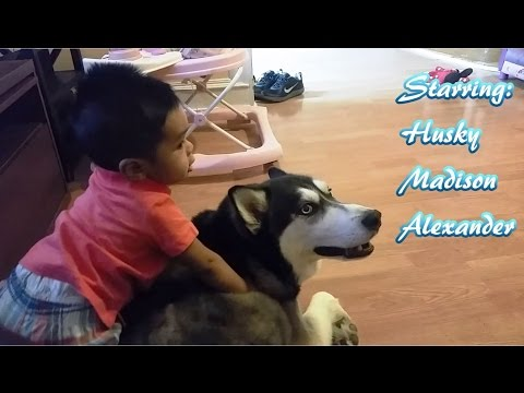 Siberian Husky Are Great Babies Sitter Too!