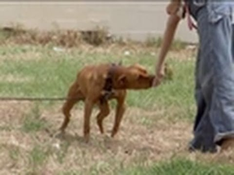 Chained-up Pit | Pit Bulls & Parolees