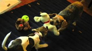 Beagle/chihuahua Puppy, Toy Fox Terrier, And Yorkie Playing, Digging Holes