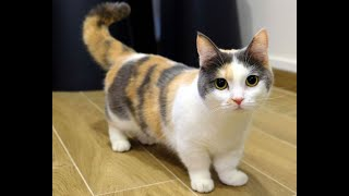 7 These Cat Breeds Have Short Legs