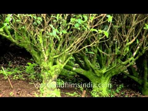 Old tea bushes in Kerala tea estate: Camellia sinensis
