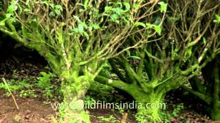 Old tea bushes in Kerala tea estate: Camellia sinensis