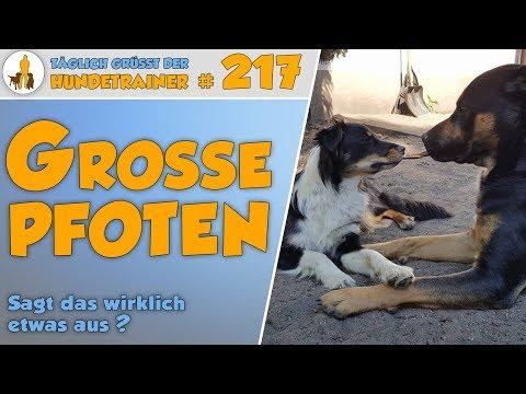 TGH 217: Große Pfoten = großer Hund? - Hundetraining Hundeschule Stadtfelle