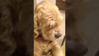 Хозяйка ругает своего щенка !!!