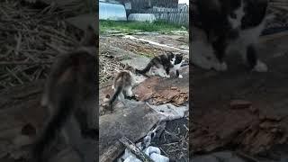 Двухмесячные котята играют в огороде. Отдам даром. Касли. Челябинская область
