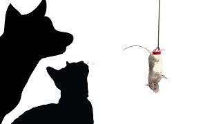 CAT GAMES MILTON THE BUNGEE JUMPING MOUSE FOR CATS ONLY