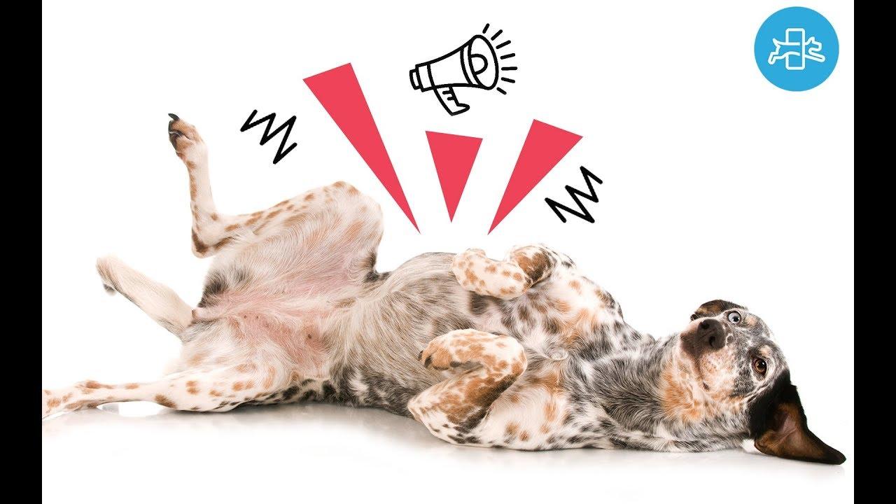 remedios naturales para los gases en perros