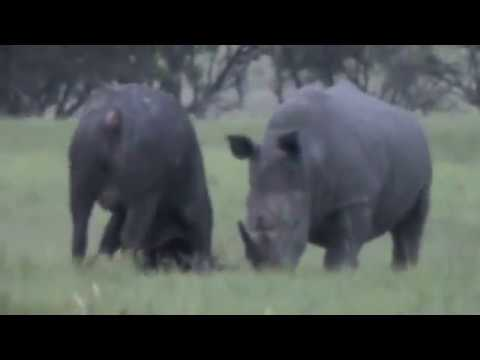 Buffalo Picks a Fight with a White Rhino....See Who Wins!