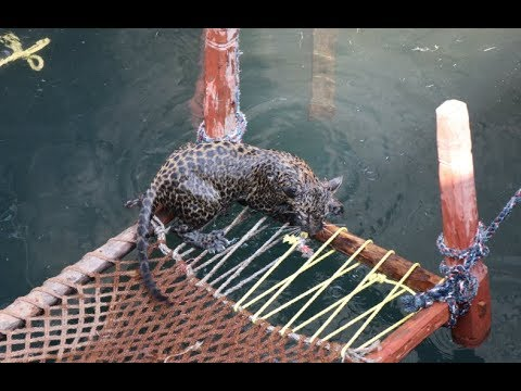 Drowning Leopard Cub Rescue From Well | Wildlife Trust Of India | Eco Echo Foundation | Mahaforest